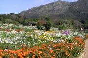350-springflowers-kirstenbosch