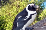 Penguin-perched
